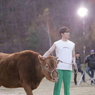 Zhou Mi cow