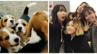 female beagle idols
