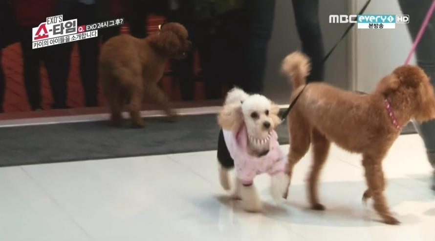 EXO Kai dogs
