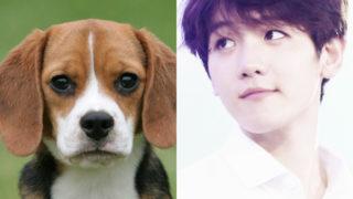 baekhyun-beagle